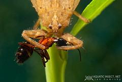 Water scorpion (Nepa cinerea)