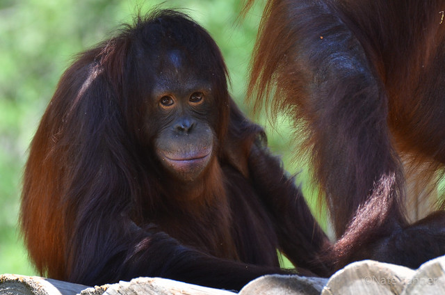 Orangutan - Hoggle Zoo