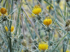 flower, yellow, thistle, plant, sow thistles, thorns, spines, and prickles, wildflower, flora, produce, silybum,