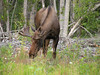 Steider.Moose in Alaska
