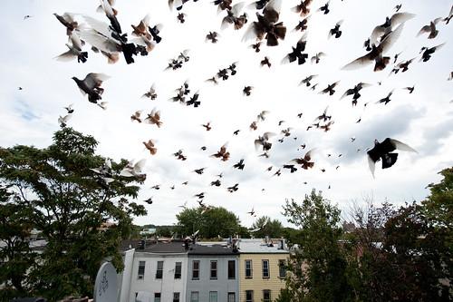 Davids Pigeons: Bushwick Brooklyn