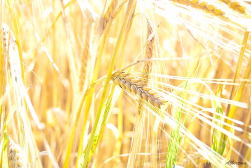 Trigo | Wheat | Weizen