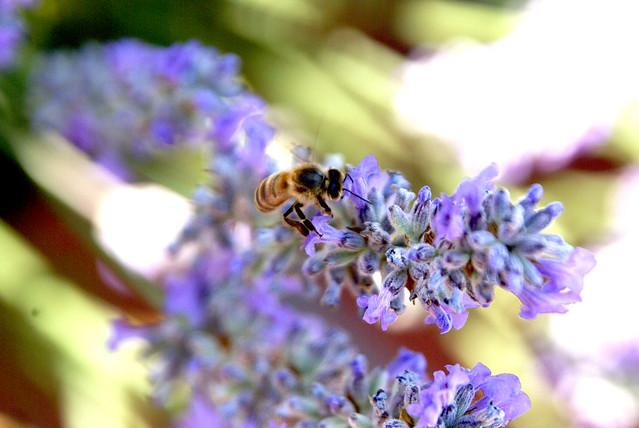 LavenderBee 201106a