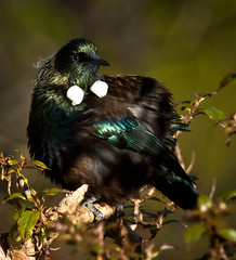 Birds - Tui & Bellbird