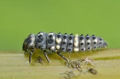 Hippodamia tredecimpunctata larvae