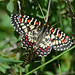 Spanish Festoon (Richard Stern)
