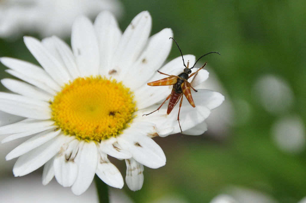 Asian Long-Horned Beetle Control & Facts - Orkin.com