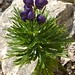Small photo of Aconitum napellus