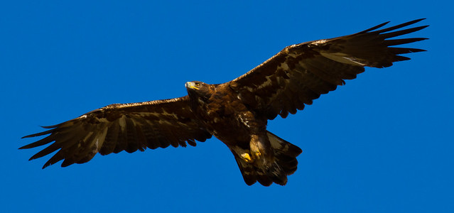 Golden Eagle -  Wings