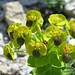 Upright myrtle Spurge, Euphorbia rigida (Paul Harmes)