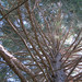 giant sequoia canopy