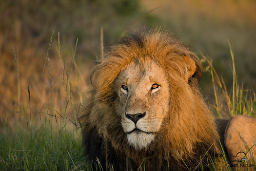 Lion in Morning Light