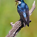 Tree swallow with prey