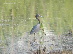 pelecaniformes(0.0), wetland(1.0), animal(1.0), fauna(1.0), little blue heron(1.0), heron(1.0), shorebird(1.0), beak(1.0), bird(1.0), wildlife(1.0),