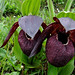 Cypripedium tibeticum (Gordon Rae)