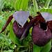 Cypripedium tibeticum (Gordon Rae)