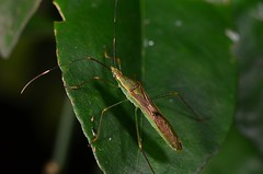 Insect (?)