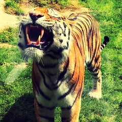 Happy Tiger at Colchester Zoo