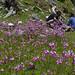 Primula secundiflora - nr. Tienshe lake, S.Zongdian (Phillipe de Spoelberch)