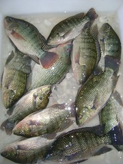 tilapia, animal, bass, fish, fish, tilapia,