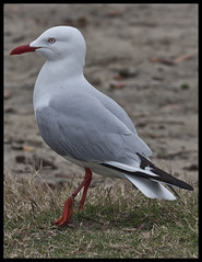 Sea gull with fishing line rapped around leg-1=