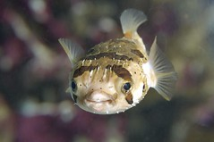 Pam the Pufferfish