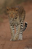 Leopard walking down a road
