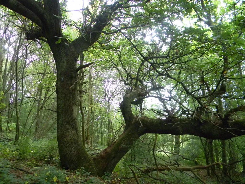 Gnarled tree Box Hill Circular