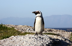 The Cape: Penguins, Ostriches and Others