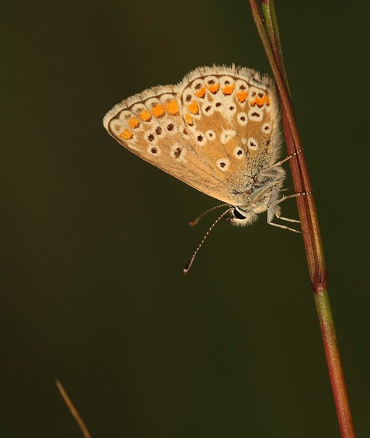 Brown argus definition meaning - Brown butterfly meaning money ...