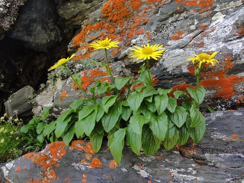 Doronicum stiriacum - Kleiner Eisenhut
