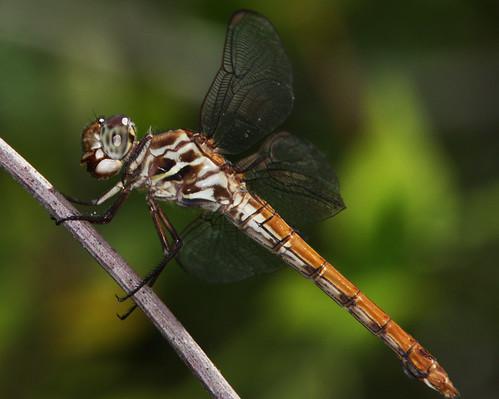 nature outdoors florida dragonflies dragonfly wildlife odonata canonef300mmf4lisusm canonefextender14xii canoneosrebelxsi