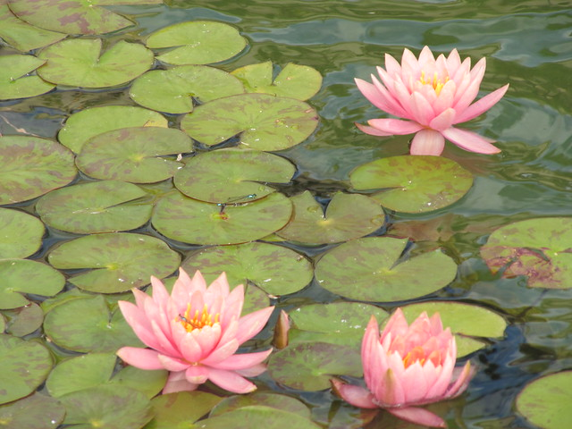 Pink Lotus Flowers on Pond | Flickr - Photo Sharing!