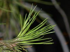 Pine Needles at Night