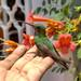 Colibri o Chuparrosas por Feer Olivares