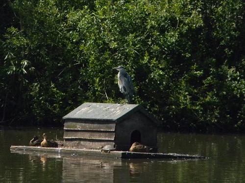 Heron, Mere Pond