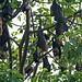 Indian Flying Foxes (Julian Thomas)