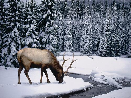 無料写真素材, 動物 , 哺乳類, 鹿・シカ, アメリカアカシカ・エルク, 雪
