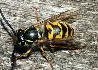 Wasp 0183