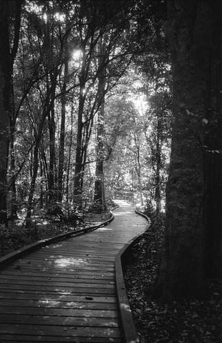 trees blackandwhite rainforest path perspective australia wingham