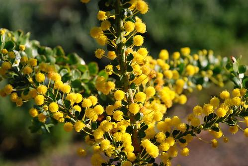 COP Acacia acinacea aa