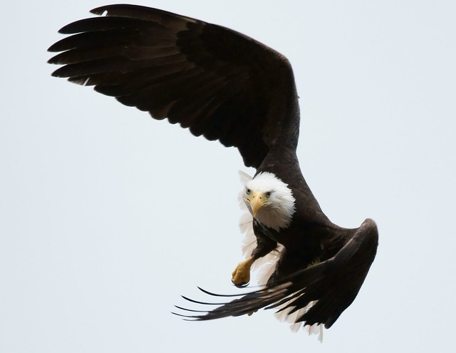 eagle attack - photo #11