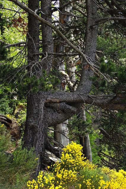 El árbol burlón