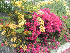 Bougainvilleas out back May 2011