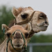 Two Peas in a Pod - Camel Portraits