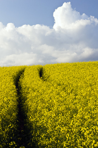 sky field yellow clouds sweden tracks seed rape sverige raps östergötland canon50mmf14usm bjärkasäby canoneos7d ginordicoct