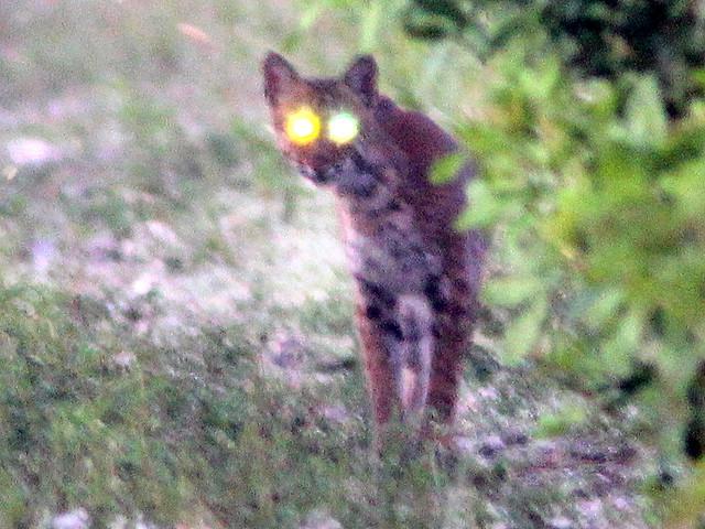 Bobcat 3-20110721