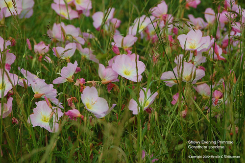 Pink Ladies, Showy Evening Primrose - Oenothera speciosa