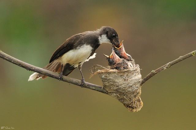 Pied Fantail feeding