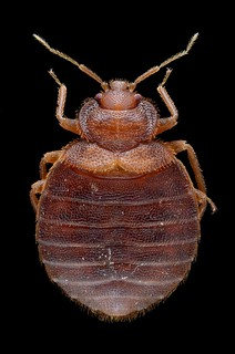 Cimex lectularius (bed bug) | by Gilles San Martin